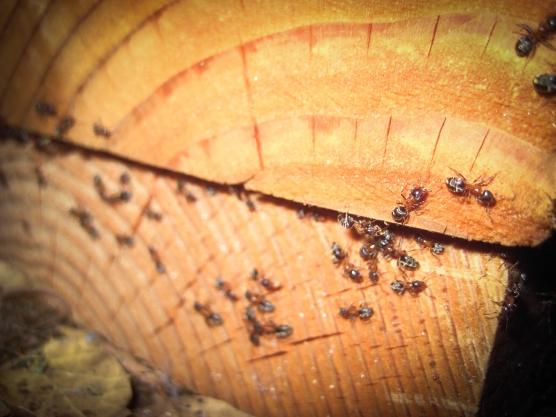 Red and Black Oak Ants gather in a stack of building materials